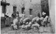 Imagen de un grupo de cerdos